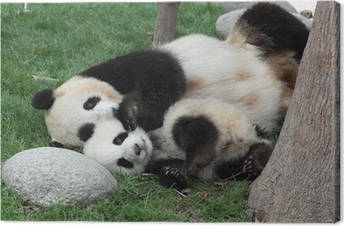 Giant panda with its cub Sleeping on the grass Canvas Print