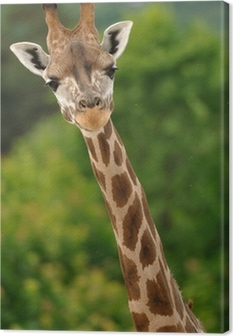 Giraffe head with neck Canvas Print