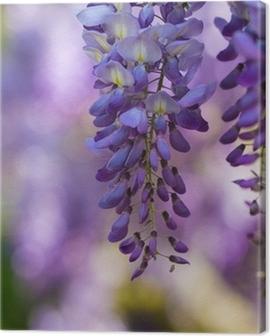 Glicine in fiore Canvas Print