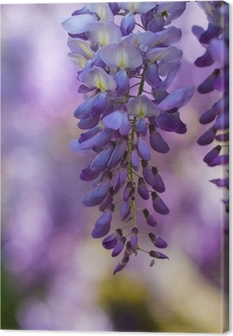Glicine in fiore Canvas Print