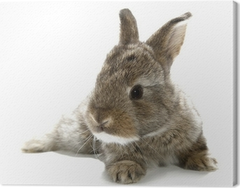 Gray rabbit bunny baby isolated on white background Canvas Print