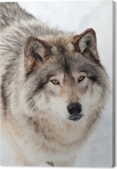 Gray Wolf in the Snow Looking up at the Camera Canvas Print