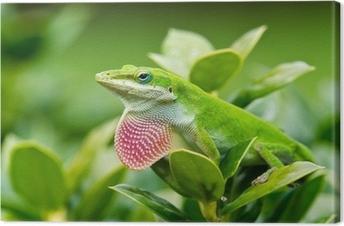 Green Anole lizard (Anolis carolinensis) showing off pink dewlap Canvas Print