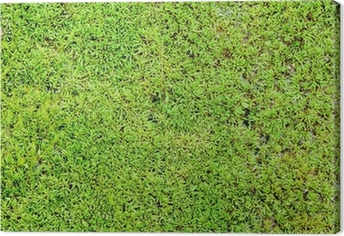 Green moss background Canvas Print