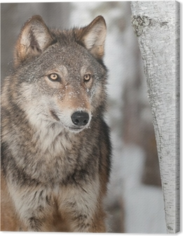 Grey Wolf (Canis lupus) By Birch Tree Canvas Print
