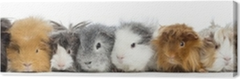 Guinea Pigs in a row, isolated on white Canvas Print