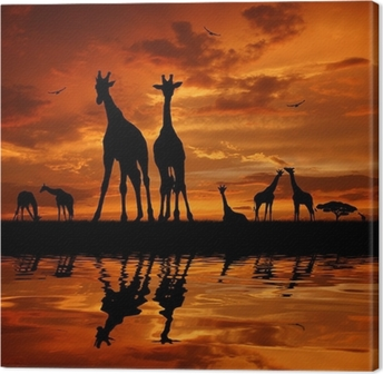 herd of giraffes in the sunset Canvas Print