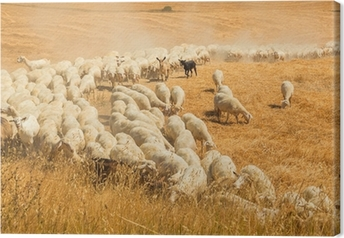 Herd of sheep in a field of Tuscany Canvas Print