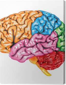 Human brain lateral view Canvas Print