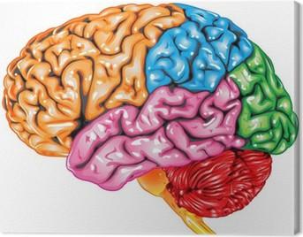 Human brain lateral view Canvas Print