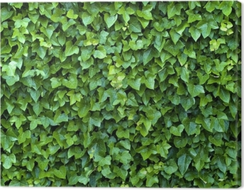 ivy wall Canvas Print