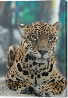 jaguar ( Panthera onca ) Canvas Print