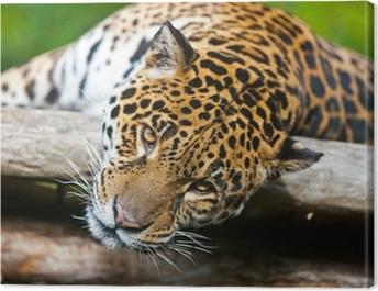 Jaguar - Panthera onca Canvas Print