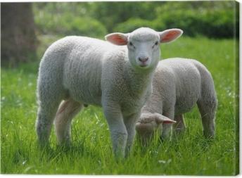 Lamm (Schaf) auf Weide Canvas Print