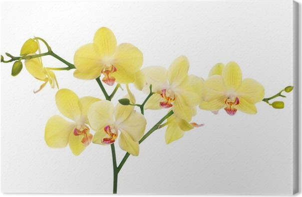 Large branch with light yellow orchid flowers canvas print pixers large branch with light yellow orchid flowers canvas print mightylinksfo