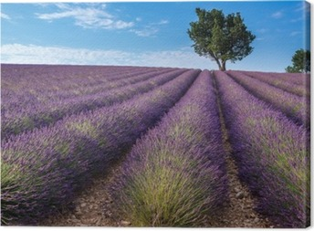 Lavender field in Valensole plateau, Provence (France) Canvas Print