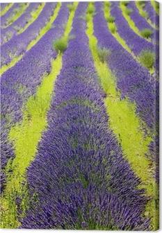 lavender field, Plateau de Valensole, Provence, France Canvas Print