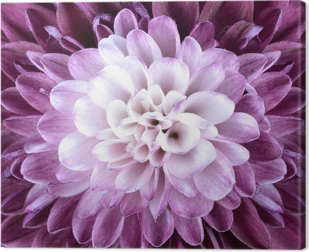 Macro close up on purple white chrysanthemum flower canvas print macro close up on purple white chrysanthemum flower canvas print mightylinksfo