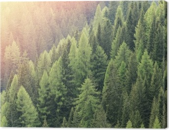 Magic forest lit by the sunlight. Coniferous forest region. Canvas Print