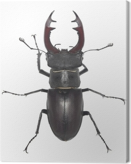 Male stag beetle, Lucanus cervus isolated on white background Canvas Print