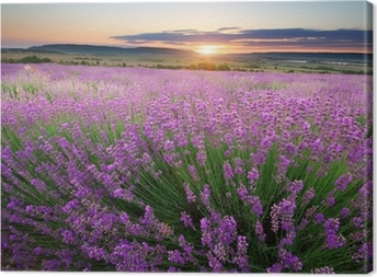 Meadow of lavender Canvas Print
