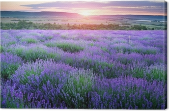 Meadow of lavender. Canvas Print