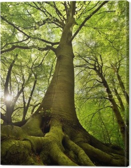 Old Beech Tree Canvas Print