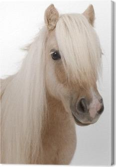Palomino Shetland pony, Equus caballus, 3 years old Canvas Print