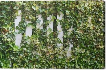 Parthenocissus tendril climbing decorative plant Canvas Print