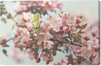 Pink apple blossoms in spring Canvas Print
