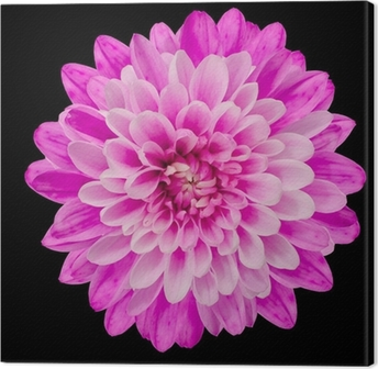 Pink Chrysanthemum Flower Isolated on Black Canvas Print