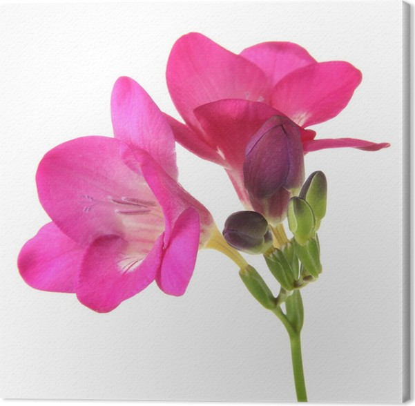 Pink freesia flower isolated on white canvas print pixers we pink freesia flower isolated on white canvas print mightylinksfo