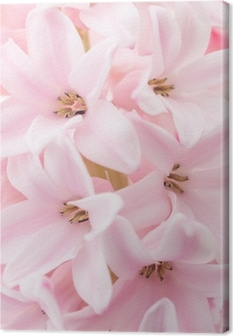 Pink hyacinth Canvas Print