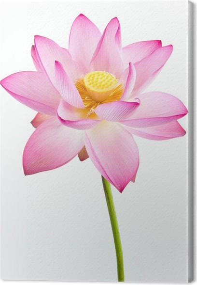 Pink Water Lily Flower Lotus And White Background Canvas Print