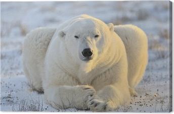 Polar bear lying at tundra. Canvas Print