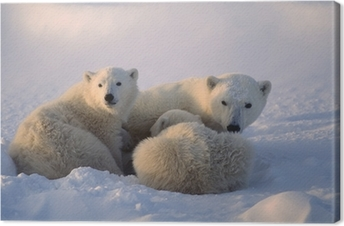 Polar bears,female cub is nursing . Canadian Arctic Canvas Print