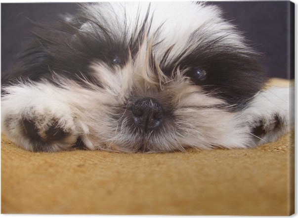 Pooped Pooch Ten Week Old Shih Tzu Puppy Portra Canvas Print