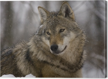 Portrait of an European grey wolf (Canis lupus lupus) Canvas Print