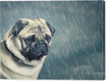 Pug in the Rain Canvas Print