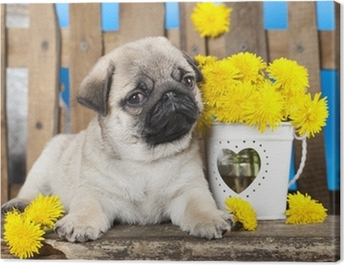 pug puppy and spring dandelions flowers Canvas Print