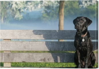 puppy labrador on bench Canvas Print