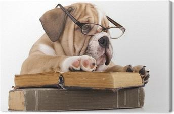 purebred english Bulldog in glasses and book Canvas Print