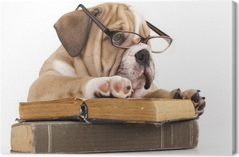 purebred english Bulldog in glasses and book Canvas Print
