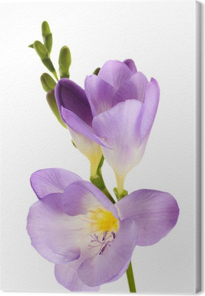 Purple freesia flower isolated on white canvas print pixers we purple freesia flower isolated on white canvas print mightylinksfo
