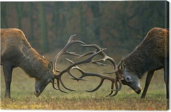 Red deer fight Canvas Print