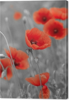 red poppies on b/w field Canvas Print