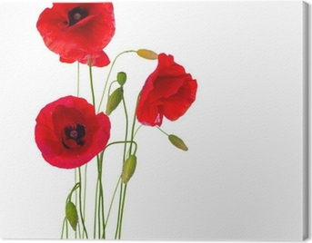 Red Poppy Flower Isolated on a White Background Canvas Print