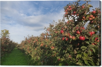 Ripe apples on trees in orchard Canvas Print