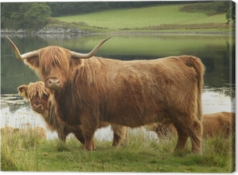 Scottish highland cow in field Canvas Print