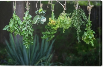 Set of herbs hanging and drying Canvas Print